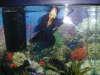 Frank the goldfish