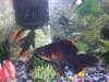 Frankster fish
