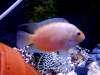 Convict fish