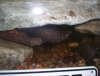 African Knife fish under cave. fish