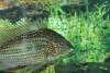 Geopahgus fish