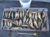 nice mess of perch fish