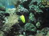 My yellow tang again fish