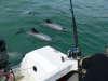 new zealand ,hectors dolphin fish