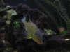 JURUPARI fish