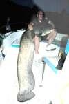 Ebro Catfish
