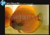 Dragon Spotted Discus Fish