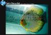 Turquoise Discus Fish