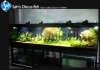 Aquarium Discus fish