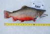 5.5lb brookie fish