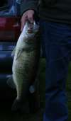 A 2 kg black bass fish
