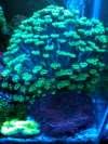 Flower Corals fish