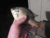 8 inch bluegill fish