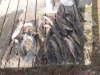 20 channel catfish