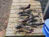12 tawakoni catfish