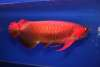 Super Red Asian Arowana,Jardini Arowana,Chili Red,Golden Arowana fish